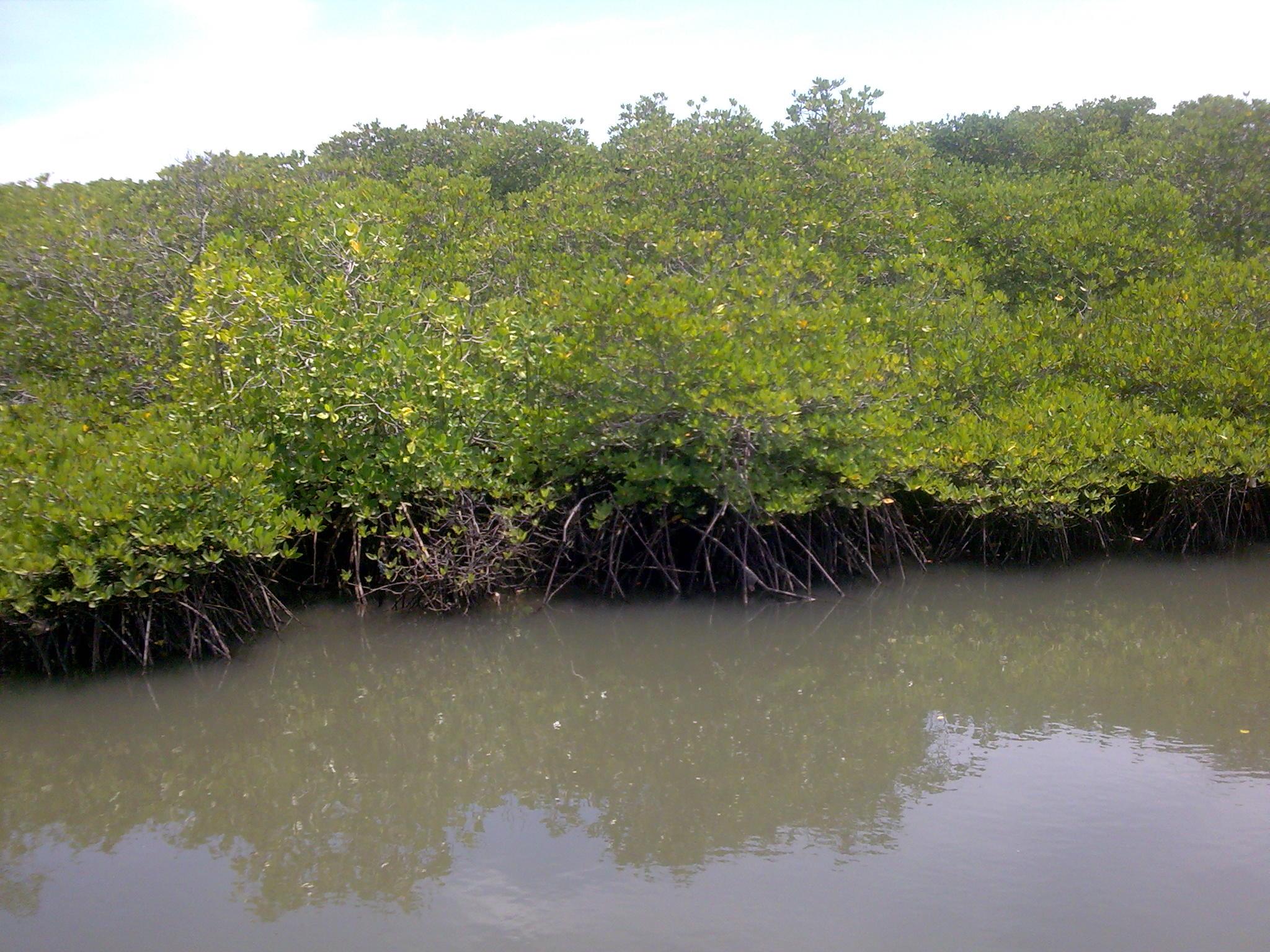 hutan-mangrove-di-surabaya-timur1